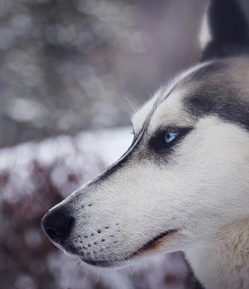 huskywinter